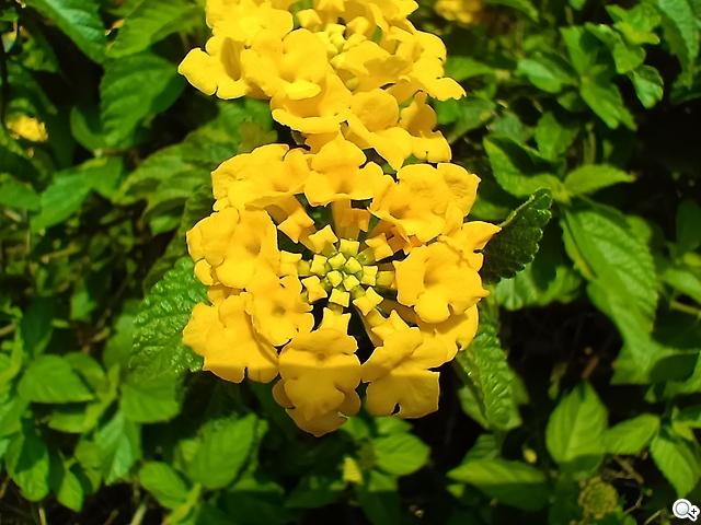 Reno5 Pro 花