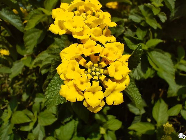Reno5 花